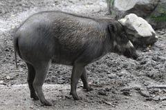 Pequeño cerdo salvaje Foto de archivo libre de regalías