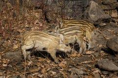 Pequeño cerdo salvaje Foto de archivo