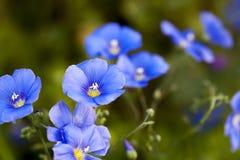 Pequeño cierre azul de la flor del lino de la linaza para arriba con el fondo verde Fotos de archivo libres de regalías