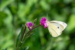 Pequeño cierre blanco de la mariposa para arriba Fotografía de archivo