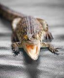 Pequeño cierre del cocodrilo para arriba Imagen de archivo libre de regalías