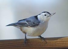 Pequeño cierre del pájaro para arriba en la repisa Fotografía de archivo libre de regalías