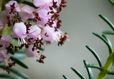 Pequeño cierre rosado lindo de la macro de las flores de la planta del brezo púrpura para arriba Fotos de archivo libres de regalías