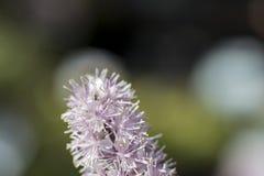 Pequeño cimicifuga de la flor en sol del verano Foto de archivo libre de regalías