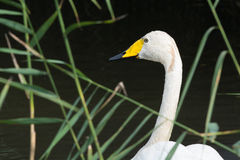 Pequeño cisne blanco Fotos de archivo