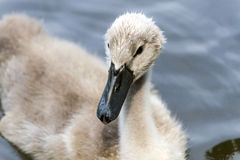 Pequeño cisne en la fauna muy Foto de archivo