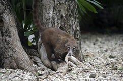 Pequeño coati mexicano Imagen de archivo
