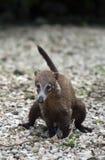 Pequeño coati mexicano Fotografía de archivo