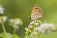 Pequeño cobre o mariposa, phlaeas de cobre comunes del Lycaena, néctar acoplándose, de la polinización y de la alimentación fotografía de archivo libre de regalías