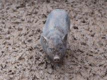 Pequeño cochinillo del orf del cerdo del negro de Vietnam totalmente sucio en el fango en la granja después de la lluvia Imagenes de archivo