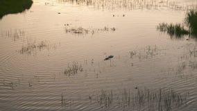 Pequeño cocodrilo en agua del pantano almacen de video