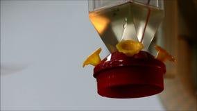 Pequeño colibrí oscuro con un alimentador rojo almacen de video