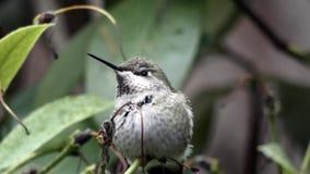 Pequeño colibrí que se sienta en arbusto verde en invierno almacen de metraje de vídeo
