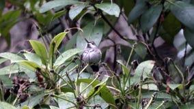 Pequeño colibrí que se sienta en tormenta del invierno metrajes