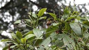Pequeño colibrí verde frío que se sienta en rododendro almacen de metraje de vídeo
