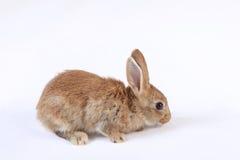 Pequeño conejo Fotografía de archivo
