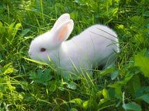 Pequeño conejo blanco Imagen de archivo libre de regalías