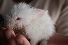 Pequeño conejo blanco prematuro en las manos de su dueño fotos de archivo libres de regalías