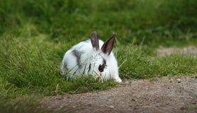 Pequeño conejo blanco que oculta en la hierba Imagenes de archivo