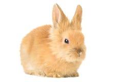 Pequeño conejo de conejito lindo en un fondo blanco Fotografía de archivo