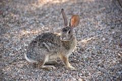 Pequeño conejo de conejo de rabo blanco Foto de archivo