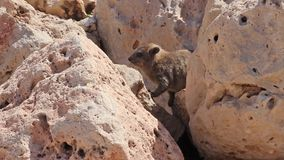Pequeño conejo de la montaña del cachorro que se sienta entre las rocas en Rosh Hanikra almacen de metraje de vídeo