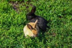 Pequeño conejo divertido negro y rojo con los oídos largos Imagen de archivo