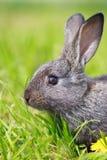 Pequeño conejo gris Imagen de archivo libre de regalías