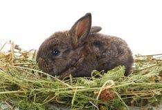 Pequeño conejo que se sienta en heno Imágenes de archivo libres de regalías