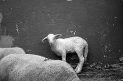 Pequeño cordero de la granja Fotografía de archivo libre de regalías