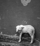 Pequeño cordero de la granja Foto de archivo libre de regalías