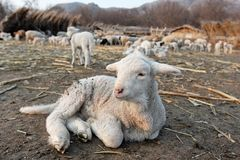 Pequeño cordero en una granja. Fotos de archivo
