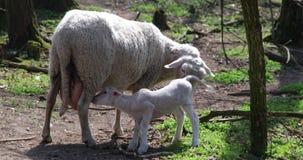 Pequeño cordero que come la leche directamente de la madre - oveja que vive en bio condiciones naturales sucias almacen de video