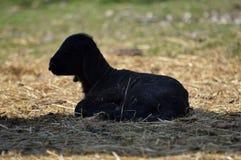 Pequeño cordero recién nacido fotos de archivo