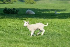 Pequeño cordero recién nacido lindo feliz que salta en campo de la primavera Fotos de archivo