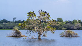 Pequeño cormorán en el santuario de Thabbowa, Puttalam, Sri Lanka imagen de archivo
