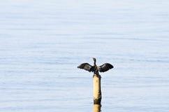 Pequeño cormorán; Phalacrocorax Niger Foto de archivo