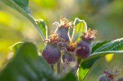 Pequeño crecimiento de las manzanas Fotografía de archivo