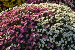 Pequeño crisantemo Imagen de archivo