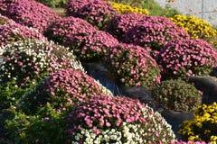 Pequeño crisantemo Imagenes de archivo