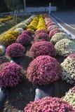 Pequeño crisantemo Foto de archivo libre de regalías