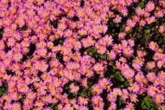 Pequeño crisantemo Fotografía de archivo libre de regalías