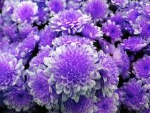 Pequeño crisantemo flores blanco-violetas brillantes Fondo de flores Para el diseño Fotografía de archivo libre de regalías