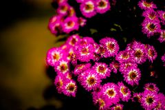 Pequeño crisantemo rojo foto de archivo libre de regalías