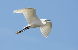 Pequeño egret foto de archivo