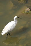Pequeño Egret Imagen de archivo