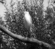 Pequeño Egret Imagen de archivo libre de regalías