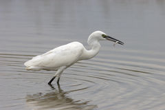 Pequeño Egret (Egretta Garzetta) Fotografía de archivo libre de regalías