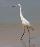 Pequeño Egret en una playa II foto de archivo libre de regalías
