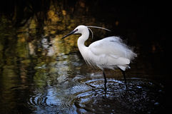 Pequeño Egret (garzetta del Egretta) Fotos de archivo